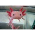 Khủng long 6 sừng - Axolotl